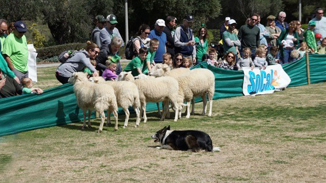 sheep at festival