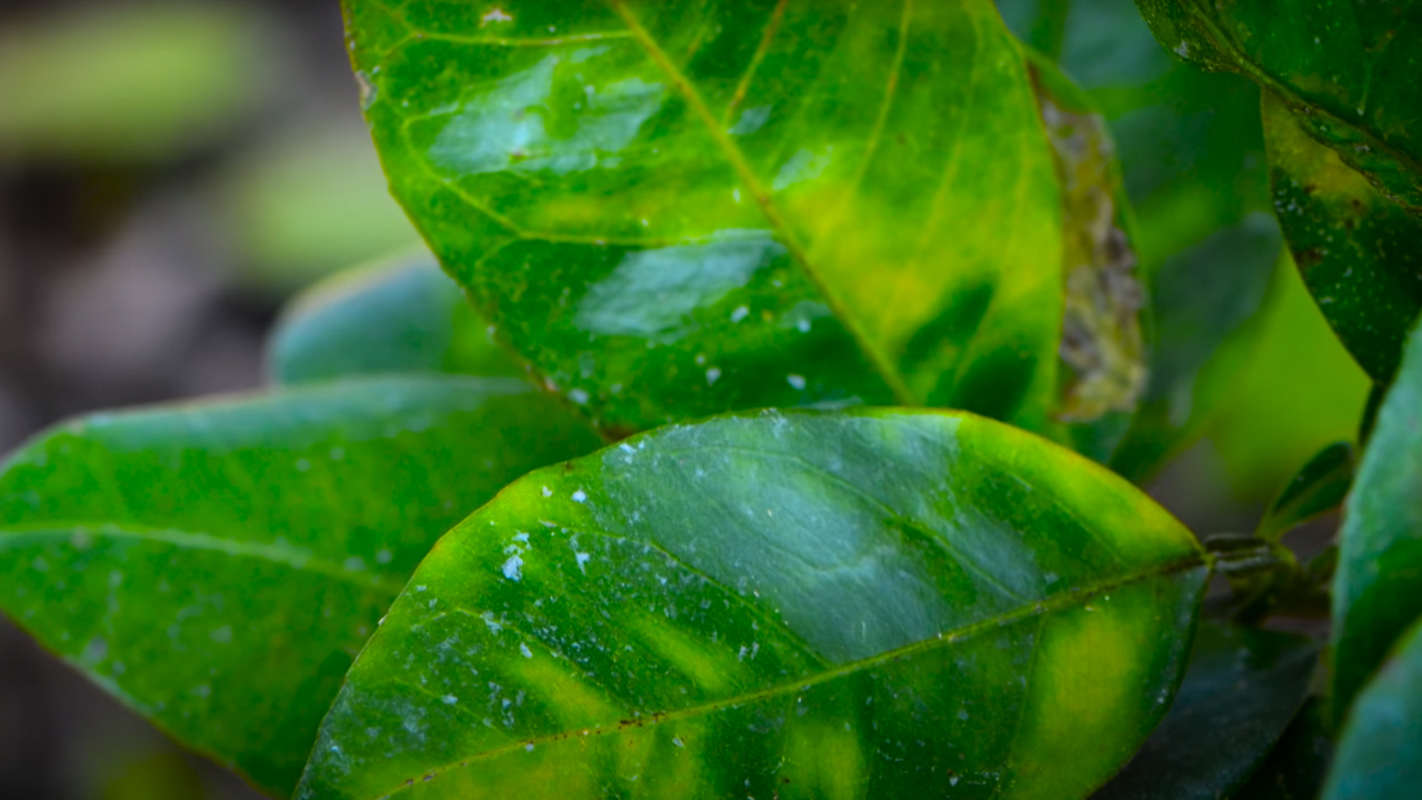 Asian citrus psyllid plant